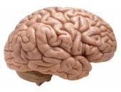 Dişi farenin beynini bakın neye dönüştürdüler?