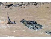 Timsah nehirde köpekbalığıyla karşılaşınca...