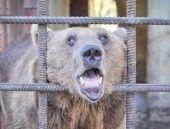 Alkolik ayılar tedaviye alındı