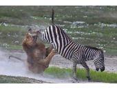 Zebra aslana öyle bir ders verdi ki...