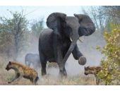 Anne filin sırtlanlarla inanılmaz mücadelesi!