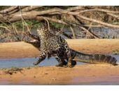 Karizması fena bozuldu! Jaguarın timsahla mücadelesi