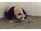 Pandanın doğum anı şoke etti