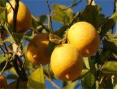 Limonu kabuğuyla tüketin İşte nedeni