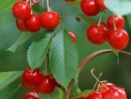 Yaz meyvesi olan erik, kiraz, şeftali üzüm ve çilek kış mevsiminde çok zor bulunuyor.