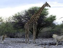 Zürafanın ölüm kalım savaşı TIKLA GÖR