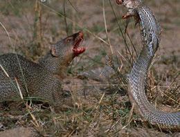 Fareyle yılanın ölüm kalım savaşı TIKLA
