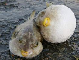 200 gramı öldürüyor! Bu balığa dikkat