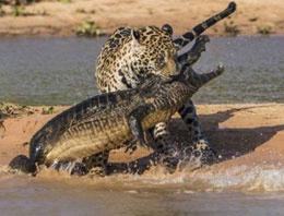 Jaguar timsahı böyle avladı TIKLA GÖR