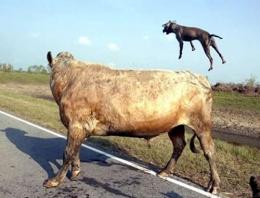 2 pitbull boğaya saldırırsa sonuç ne olur?