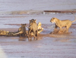 3 aslan ile timsahın inanılmaz kapışması