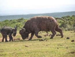 Yavru fil bufaloya kafa tutarsa...