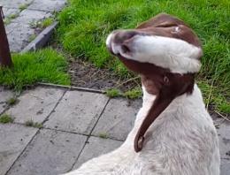 Bu keçinin içine şeytan kaçmış!