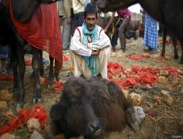 Hindular binlerce hayvanı böyle öldürüyor!