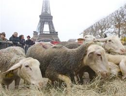 Eyfel kulesi önünde koyun sürüleri