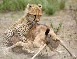 Çitalar yeni doğan antilop'u böyle yedi