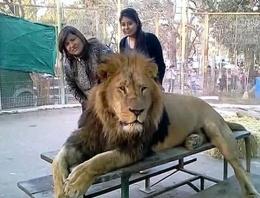 Aslanlara 'selfie' işkencesi!