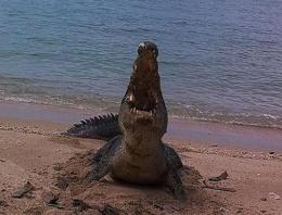 Timsah, kaplumbağa kabuğunu parçaladı!