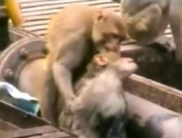 Dünya bunu izledi! Maymundan kalp masajı