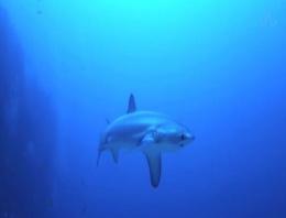 Köpekbalığı ilk kez doğumda görüntülendi!