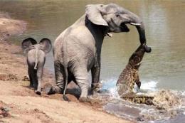 Yavru fil timsahı alt etti! Buna bakın