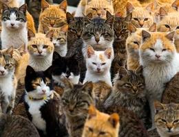 Bu adayı kediler bastı halk şaşkın