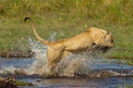 Anne aslanın timsahla inanılmaz mücadelesi