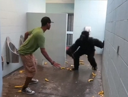 Tuvalette karşınıza goril çıkarsa...
