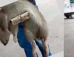 Sakarya'da dev fare fotoğrafı rekor kırdı