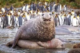 Denizin devlerinin kanlı çiftleşme savaşı!