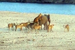 14 aslana birden kafa tuttu