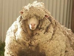 Kaçak koyun dünya rekoru kırdı