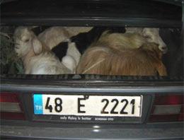 Keçileri bagajda kaçırdı!