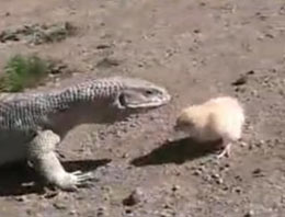 Civciv dev kertenkele ile böyle kapıştı