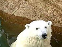 Zebra virüsü kutup ayısını öldürdü