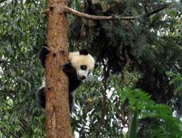 Deprem 'panda'yı panik atak yaptı