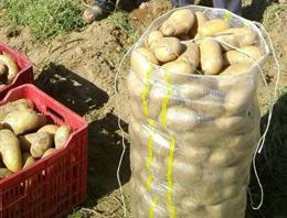 Patates sezonu açtığı fiyatla kapattı