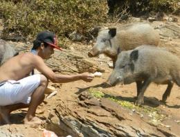 Turistler yaban domuzunu elleriyle...