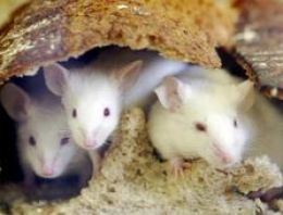 İtalya'da fareler mahkemeyi 'felce uğrattı'