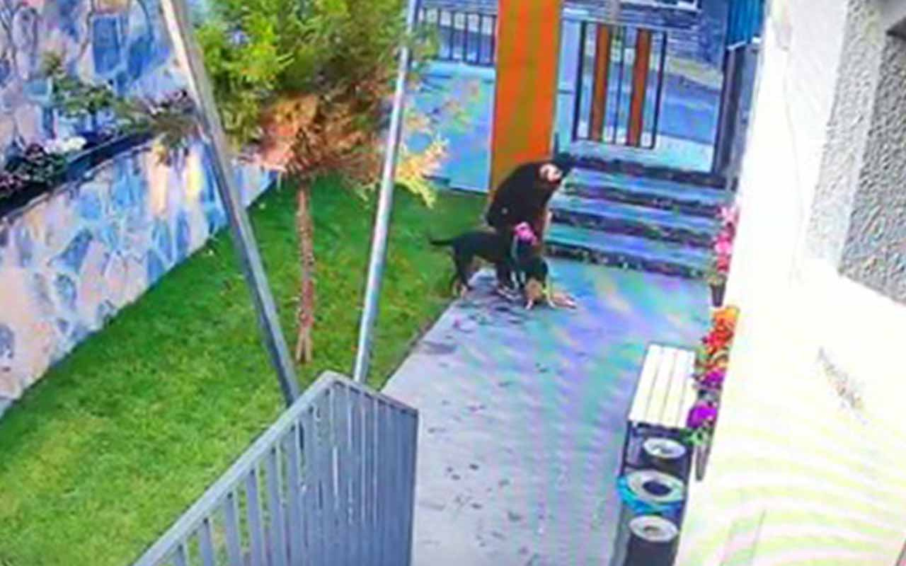 Beşiktaş'ta tasmasız köpek kediyi parçaladı, vicdansız kadın sadece izledi