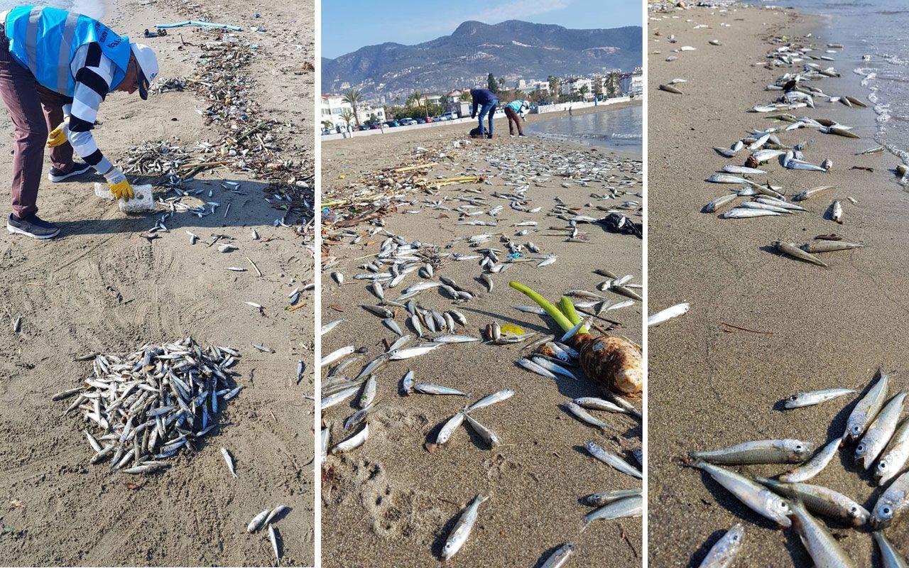 Alanyalılar diken üstünde! On binlercesi birden sahile vurdu - Sayfa 1