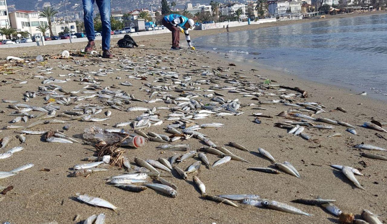 Alanyalılar diken üstünde! On binlercesi birden sahile vurdu - Sayfa 7