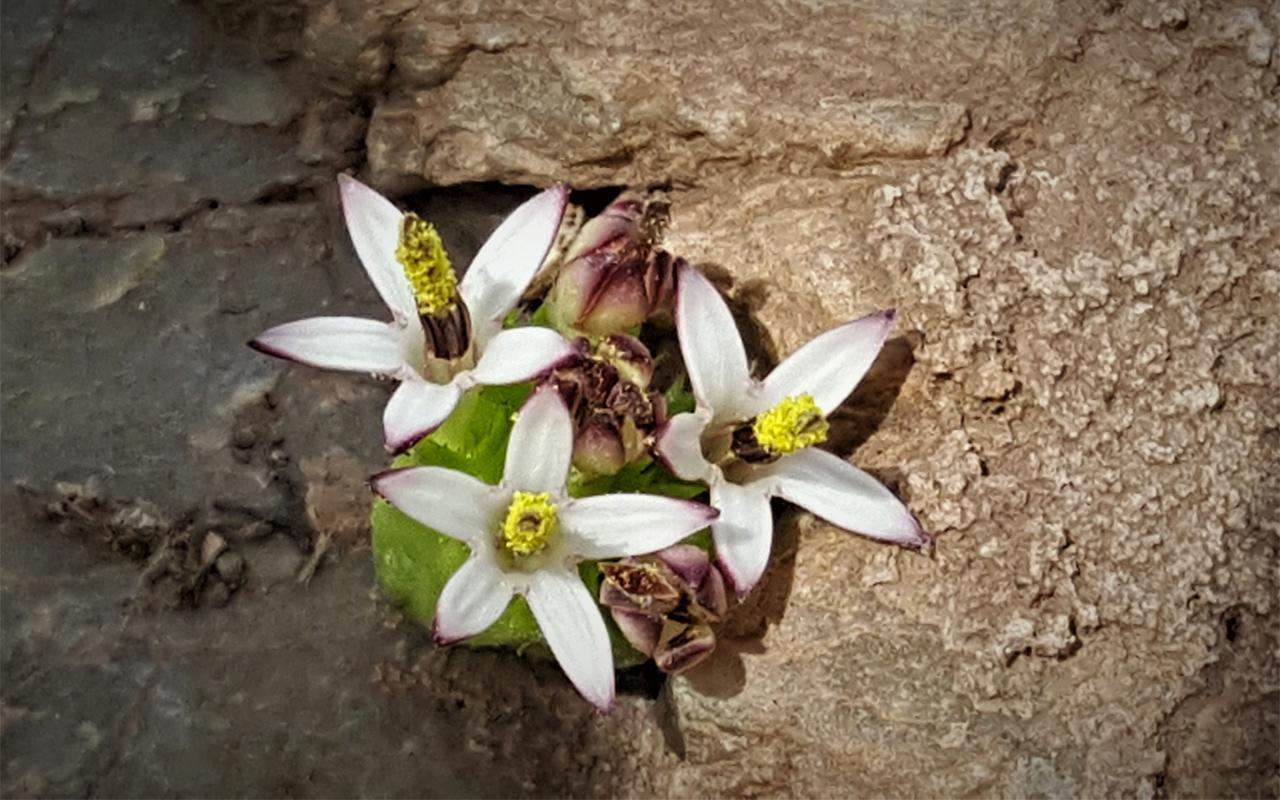 Yeni bir bitki türü keşfedildi! Turşu, sakız ve çerez olabiliyor