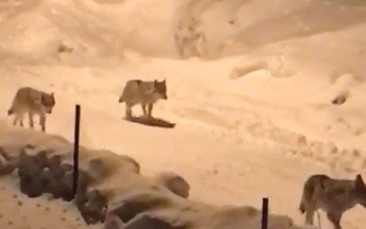 Erzurum'da kurt sürüsü köye indi
