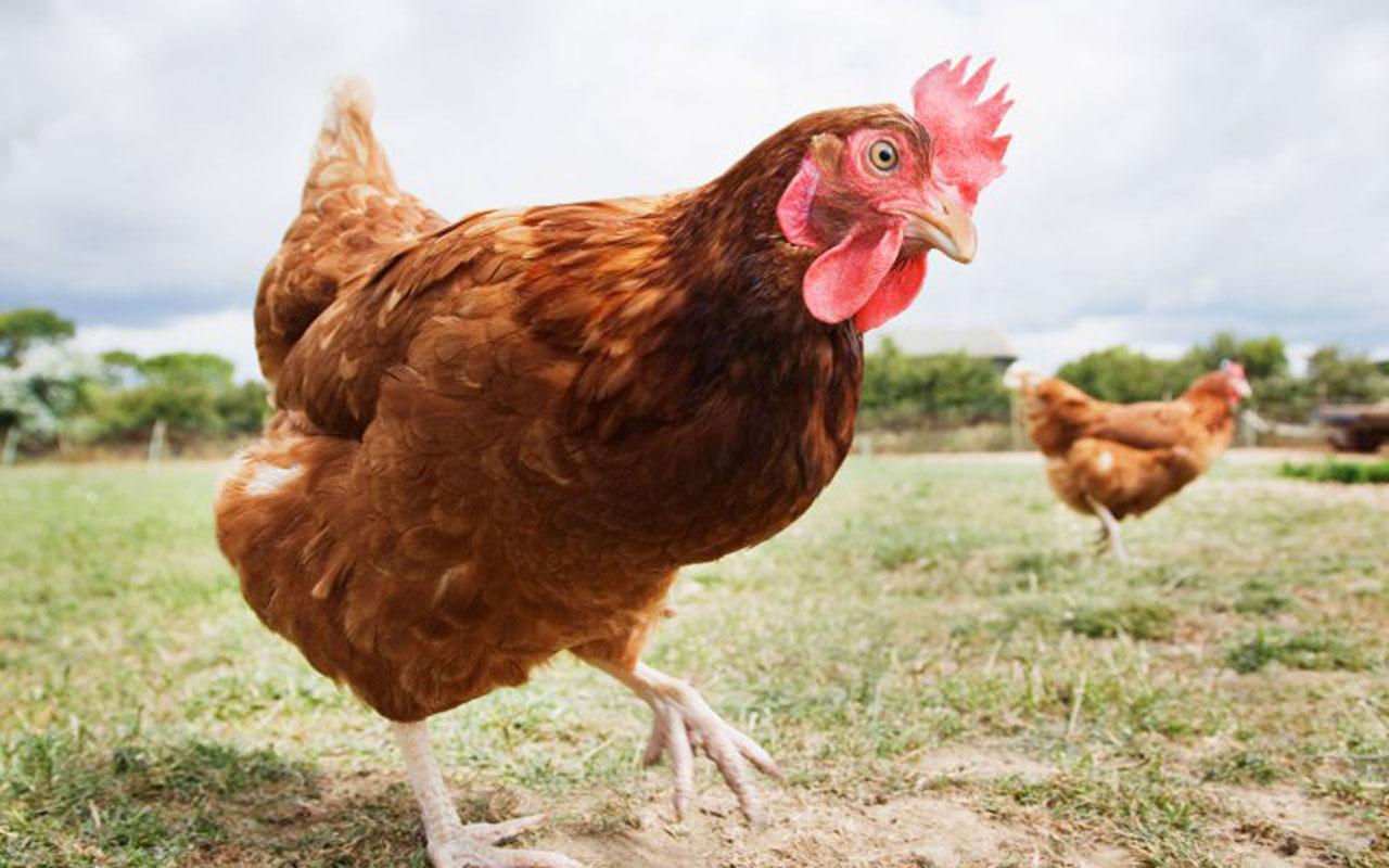 Fransa'da tavuklar aslan kesildi bir olup öldürdüler
