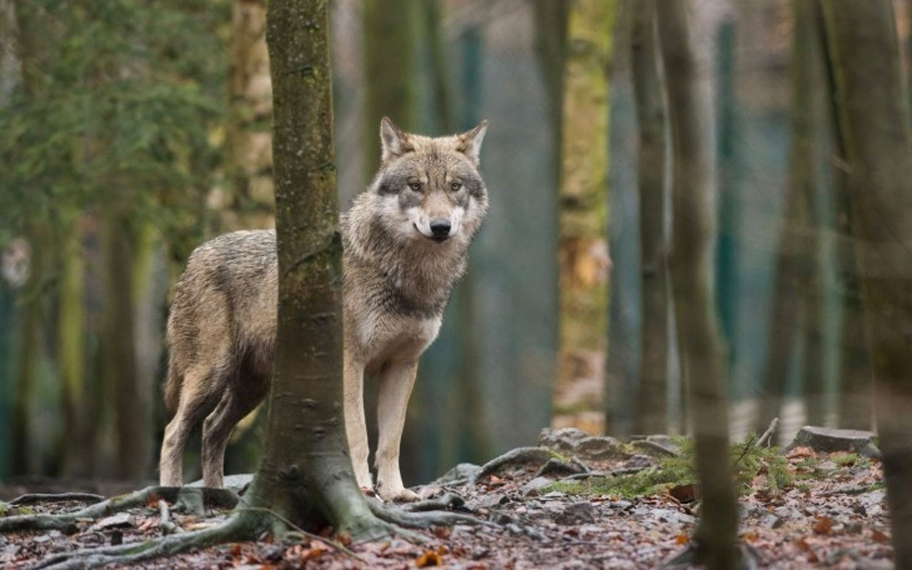 Antalya'da firari kurt her yerde aranıyor