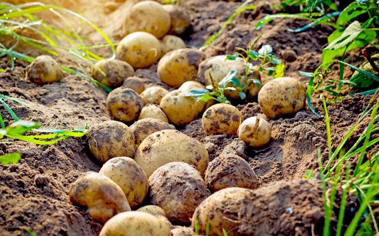 Patates fiyatları için yeni vergi adımı sıfır gümrük uzatıldı