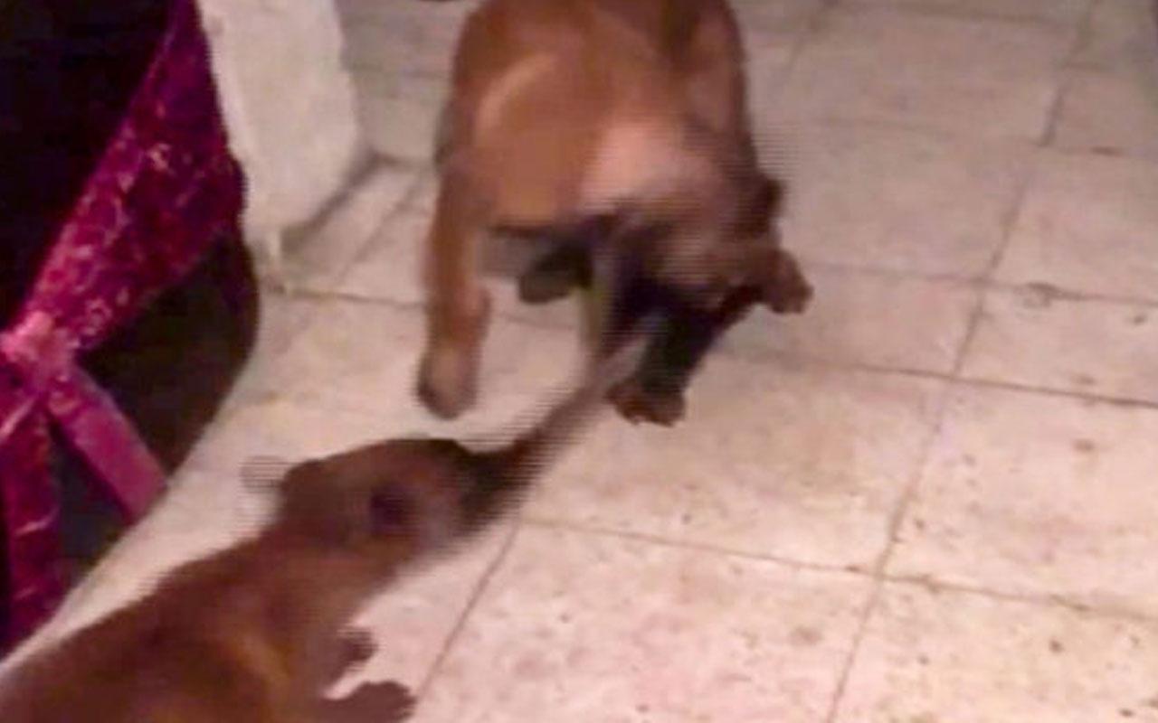 Sevimli köpeklerin oyuncak kavgası güldürdü
