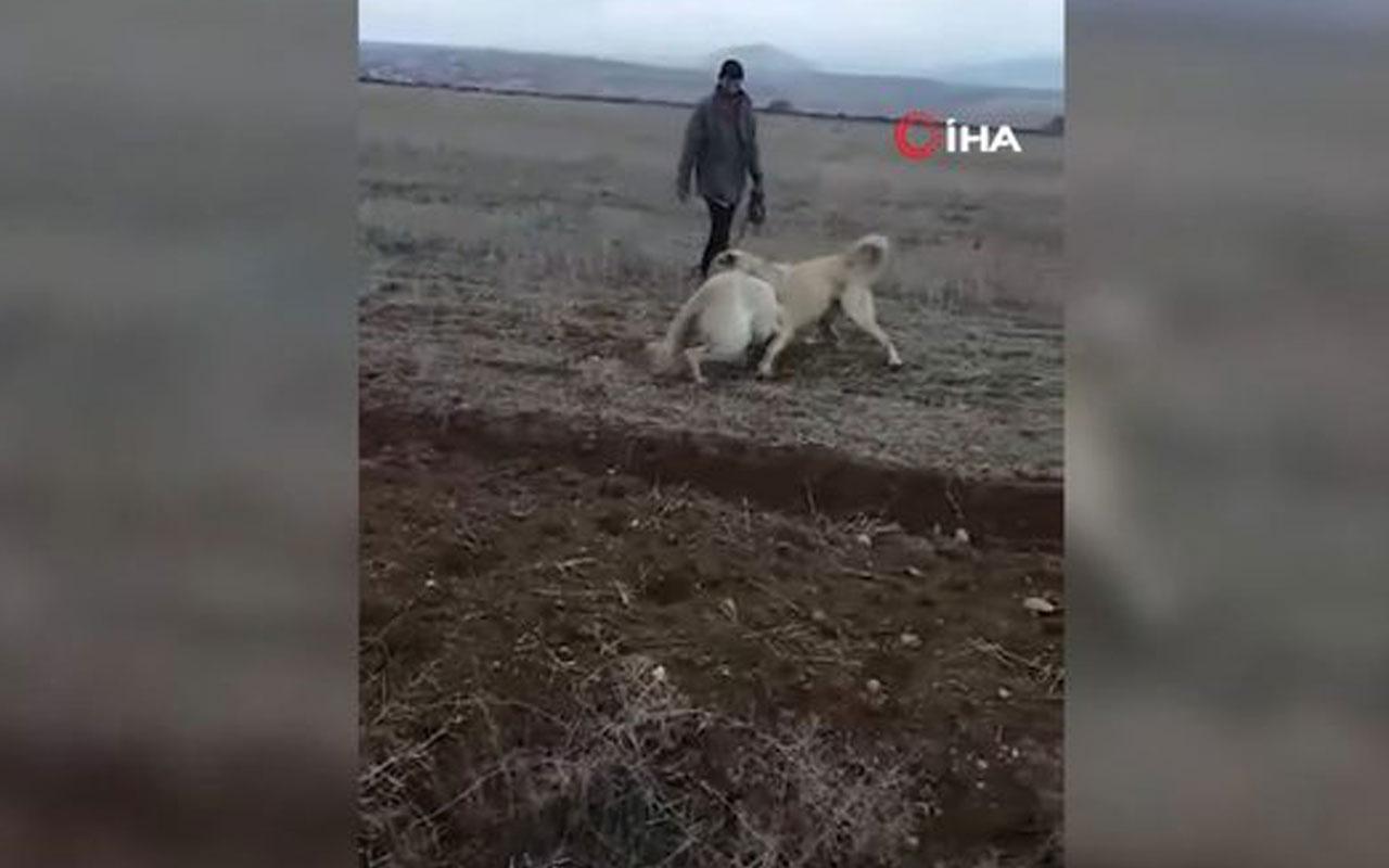 Köpekleri acımasızca dövüştürdükleri anlar kamerada