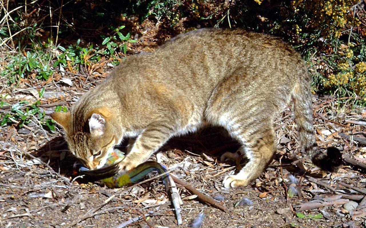 Türkiye yapsa dünya ayaklanırdı! Avustralya kedileri topluca imha ediyor